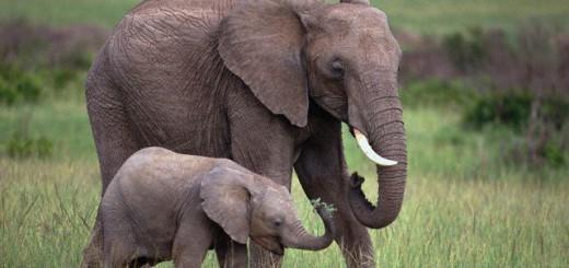 слониха и сдоненок