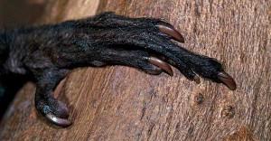 Лапка руконожки