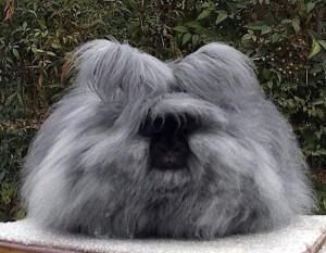 Английский ангорский кролик