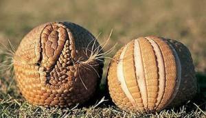 Броненосцы сворачиваются в шарик в случае опасности