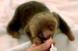 Малыш-ленивец