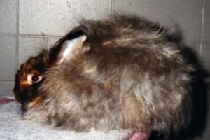 Сатиновый ангорский кролик