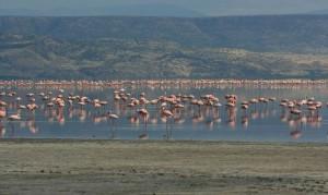 фламинго на острове натрон