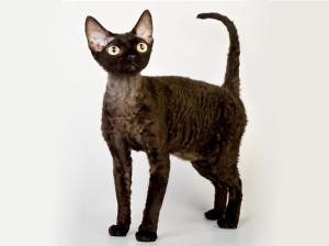 кошка-1-девон-рекс