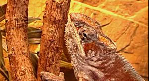 хамелеон1