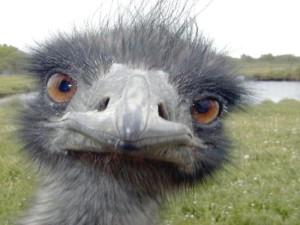 страус1