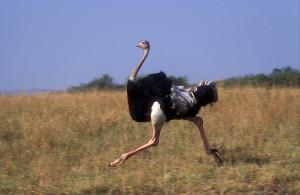 страус2