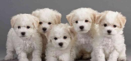 самые дорогие собаки в мире