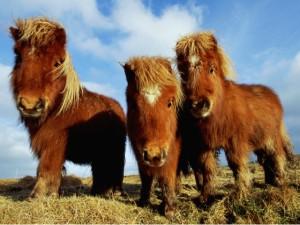 Миниатюрные шетлендские пони