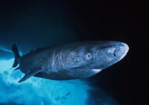 Гренландская акула